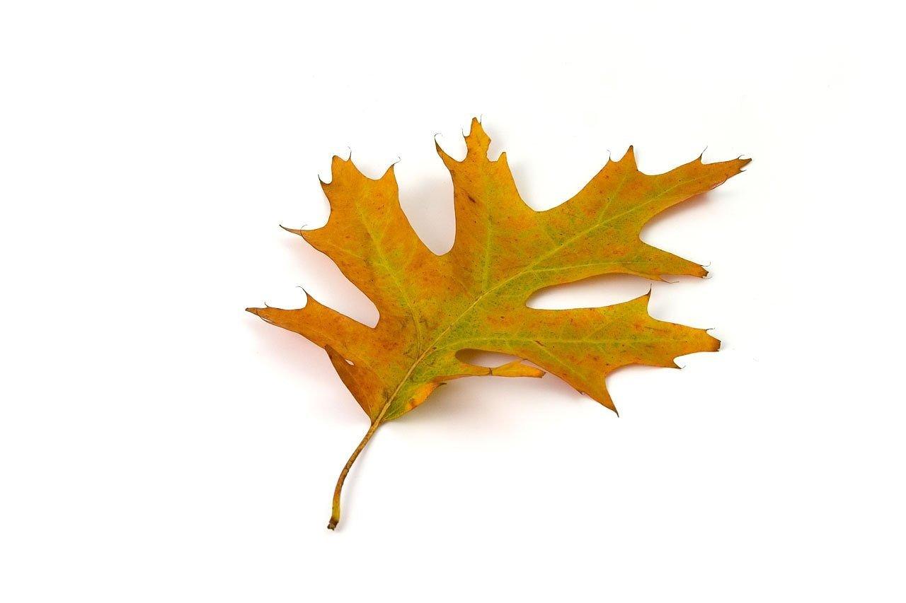 oak, leaf, color